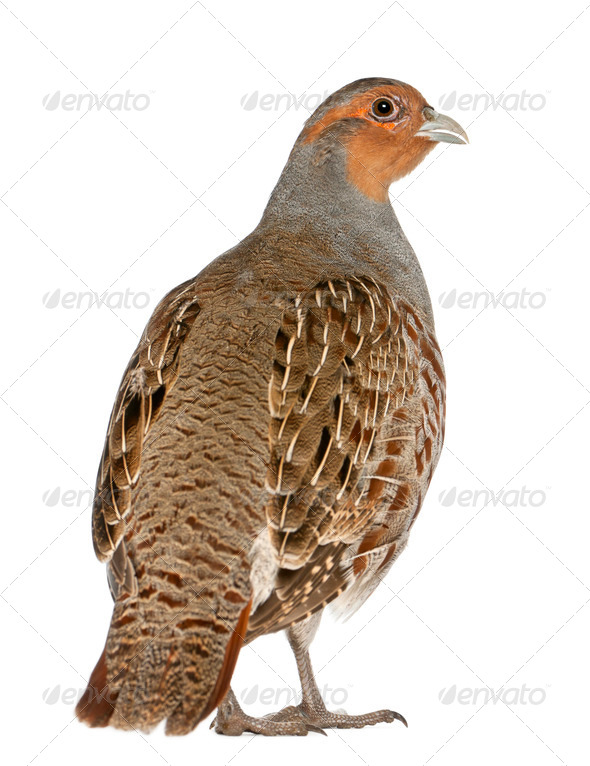 Portrait of Grey Partridge, Perdix perdix, also known as the English Partridge, Hungarian Partridge - Stock Photo - Images