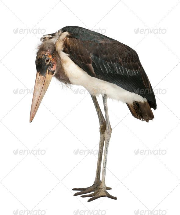 Marabou Stork, Leptoptilos crumeniferus, 1 year old, standing in front of white background - Stock Photo - Images