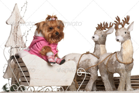 Yorkshire Terrier, 4 years old, in Christmas sleigh in front of white background - Stock Photo - Images