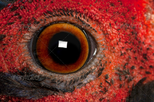 Close up of Male American Common Pheasant, Phasianus colchicus, eye - Stock Photo - Images
