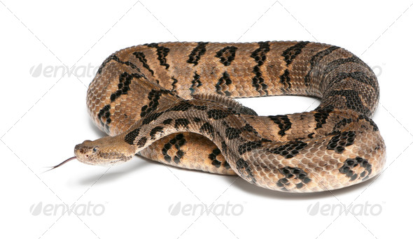 Timber rattlesnake - Crotalus horridus atricaudatus, poisonous, white background - Stock Photo - Images