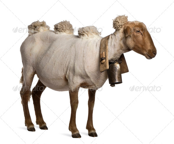 Side view of Mourerou sheep wearing bell in front of white background - Stock Photo - Images