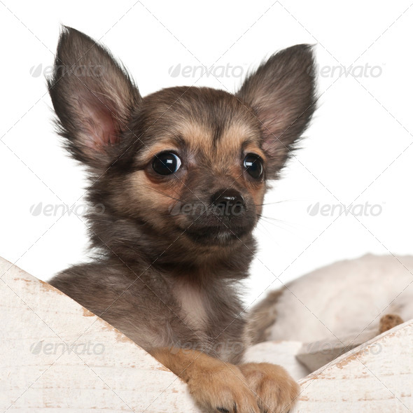 Chihuahua puppy, 4 months old, in Christmas sleigh in front of white background - Stock Photo - Images