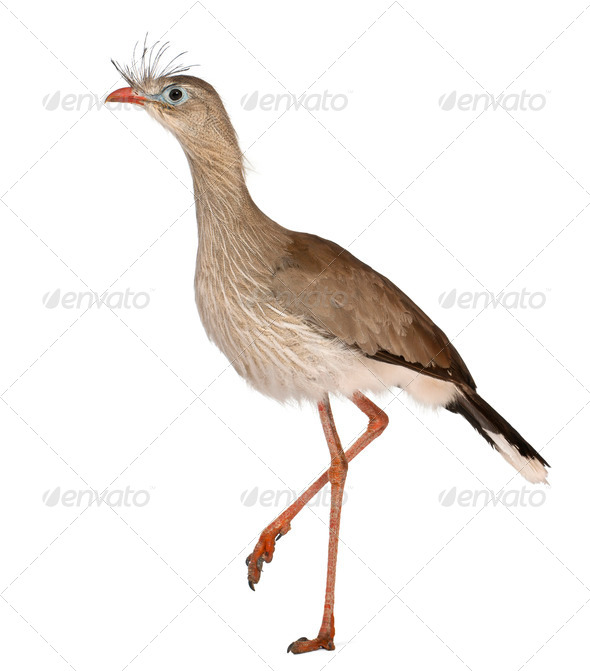 Red-legged Seriema or Crested Cariama, Cariama cristata, in front of white background - Stock Photo - Images