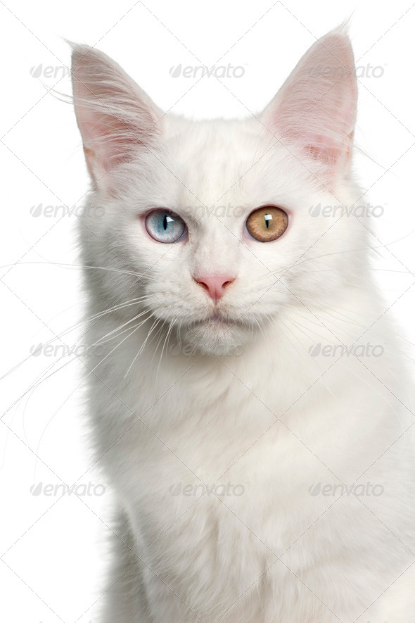 Portrait of Maine Coon cat, 5 months old, in front of white background - Stock Photo - Images
