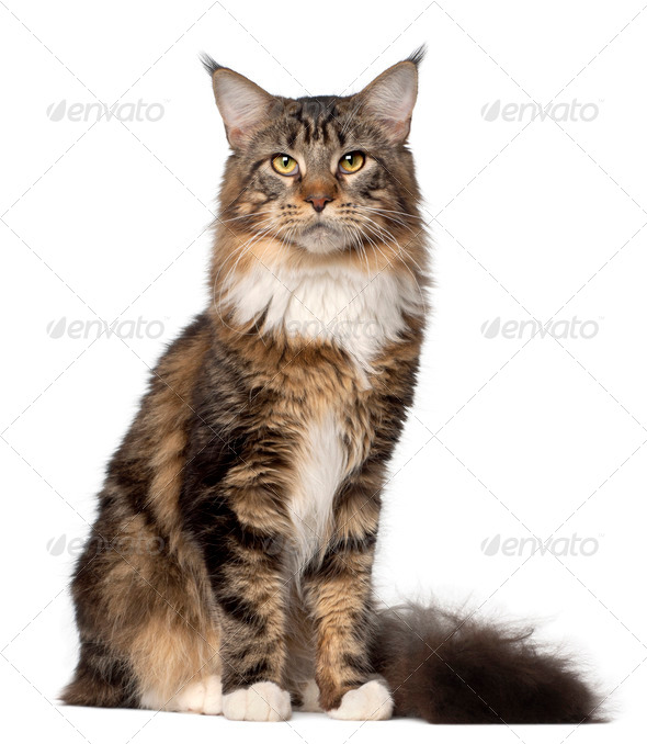 Portrait of Maine Coon cat, 10 months old, sitting in front of white background - Stock Photo - Images