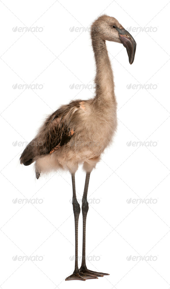 Chilean Flamingo, Phoenicopterus chilensis, 5 months old, standing in front of white background - Stock Photo - Images