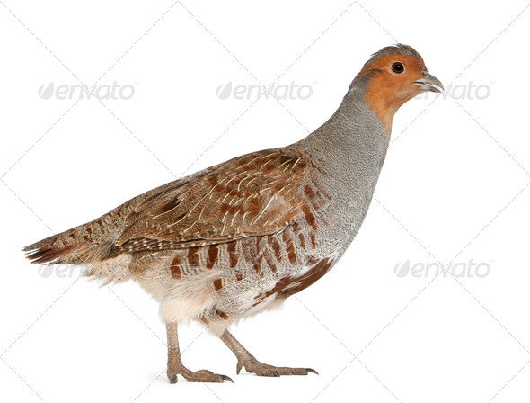 Grey Partridge, Perdix perdix, also known as the English Partridge, Hungarian Partridge, or Hun - Stock Photo - Images