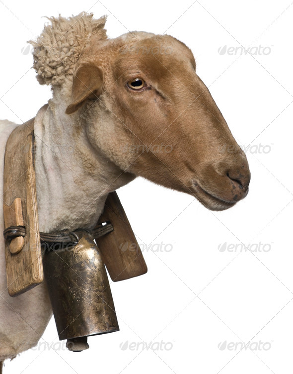 Close-up side view of Mourerou sheep wearing bell in front of white background - Stock Photo - Images