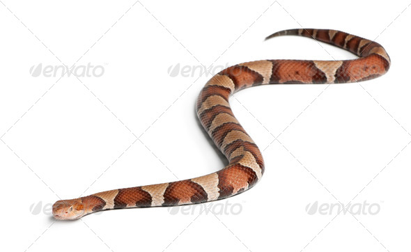 Copperhead snake or highland moccasin - Agkistrodon contortrix, poisonous, white background - Stock Photo - Images