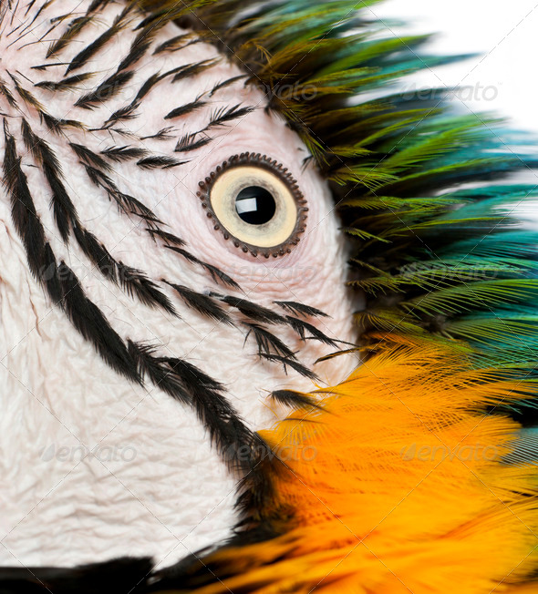 Close up of Blue and Yellow Macaw, Ara Ararauna, eye - Stock Photo - Images