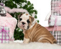 English Bulldog puppy, 2 months old, sitting with Christmas tree and gifts