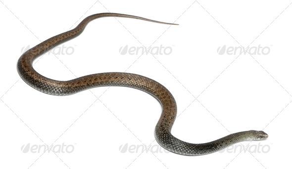 Montpellier snake - Malpolon monspessulanus, poisonous - Stock Photo - Images
