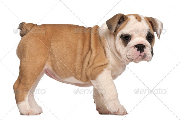 side view, English Bulldog puppy, standing, 2 months old - Stock Photo - Images