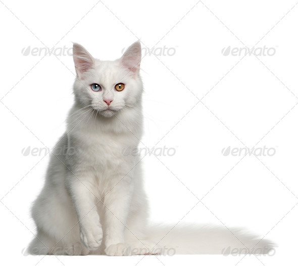 Portrait of Maine Coon cat, 5 months old, sitting in front of white background - Stock Photo - Images