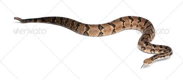 Timber rattlesnake - Crotalus horridus atricaudatus, poisonous, white background - Stock Photo - Images