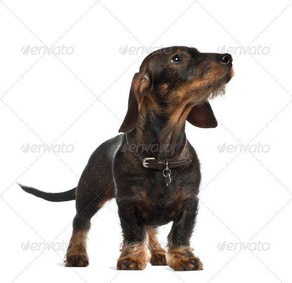 Dachshund, 8 months old, standing in front of white background - Stock Photo - Images
