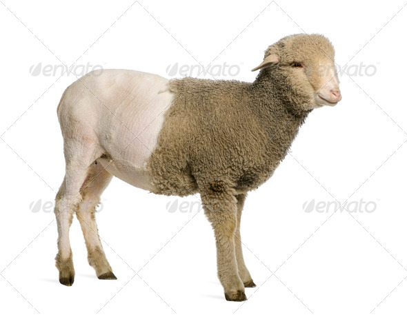 Partially shaved Merino lamb, 4 months old, in front of white background - Stock Photo - Images