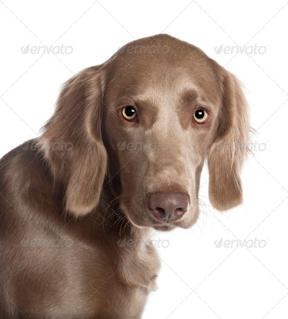 Portrait of Weimaraner, 8 months old, in front of white background - Stock Photo - Images