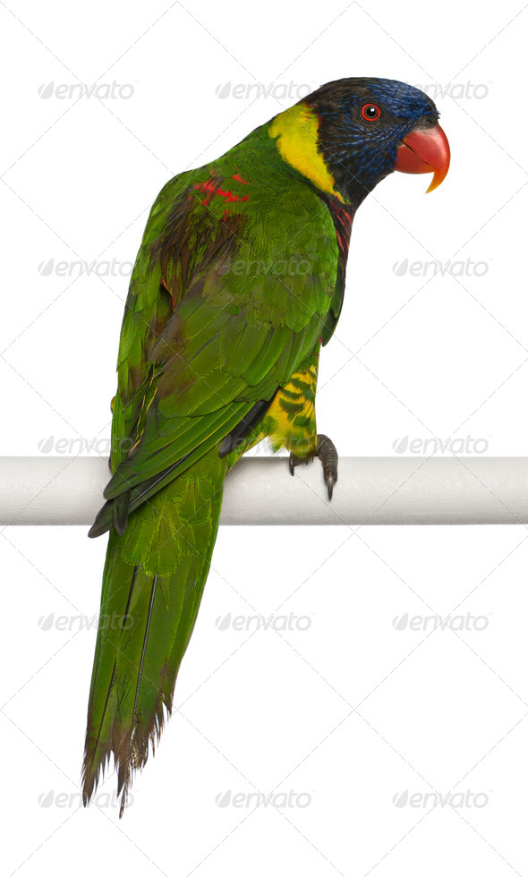 Ornate Lorikeet, Trichoglossus ornatus, a parrot, perching in front of white background - Stock Photo - Images