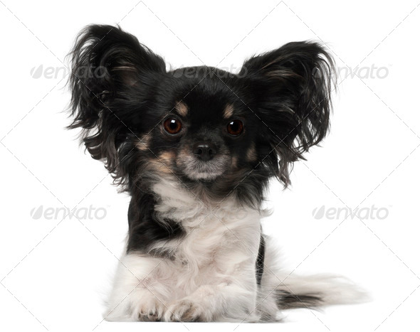 Crossbreed dog lying in front of white background - Stock Photo - Images