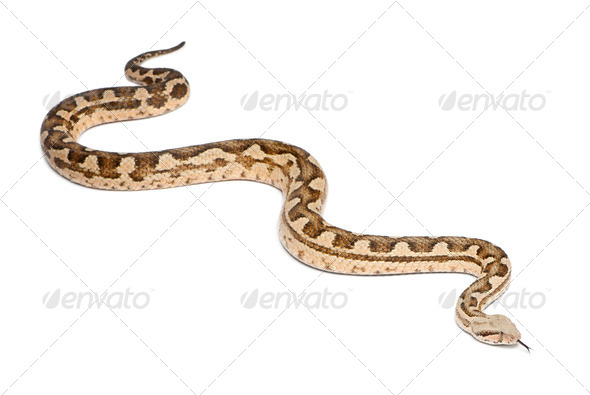 Moorish viper  - Macrovipera mauritanica, poisonous, white background - Stock Photo - Images
