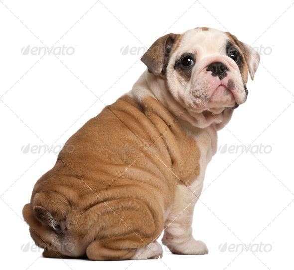 English Bulldog puppy, Sitting, looking back, 2 months old - Stock Photo - Images