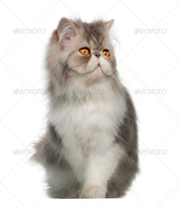 Persian cat, 7 months old,, sitting in front of white background - Stock Photo - Images