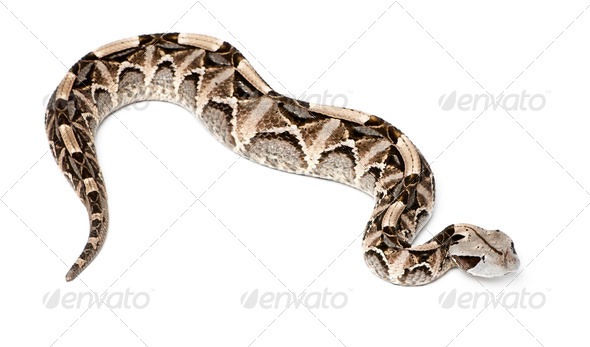 Gaboon viper - Bitis gabonica, poisonous, white background - Stock Photo - Images