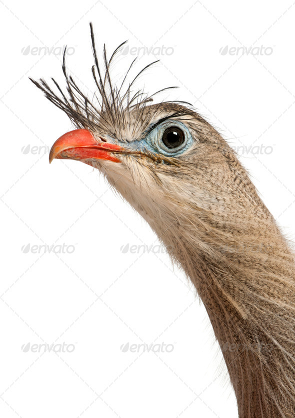 Portrait of Red-legged Seriema or Crested Cariama, Cariama cristata, in front of white background - Stock Photo - Images