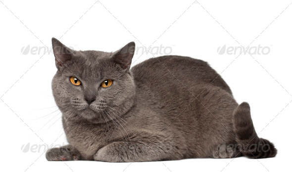 Portrait of Chartreux cat, 1 and a half years old, in front of white background - Stock Photo - Images