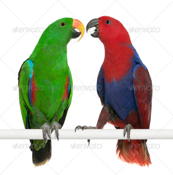 Male and Female Eclectus Parrots, Eclectus roratus, perching in front of white background - Stock Photo - Images
