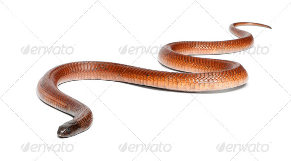 Egyptian cobra - Naja haje, poisonous, white background - Stock Photo - Images