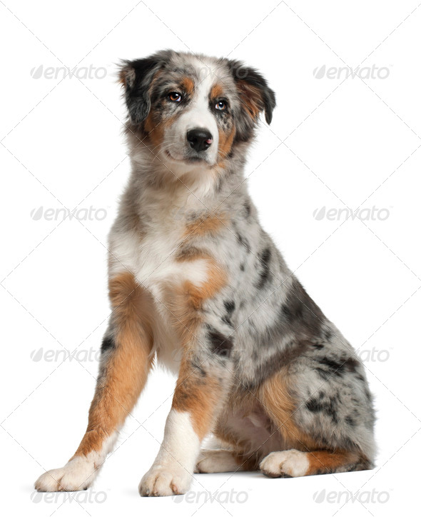 Portrait of Australian Shepherd, 5 months old, sitting in front of white background - Stock Photo - Images