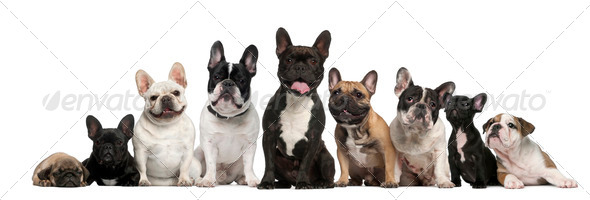 Group of French bulldogs in front of white background - Stock Photo - Images