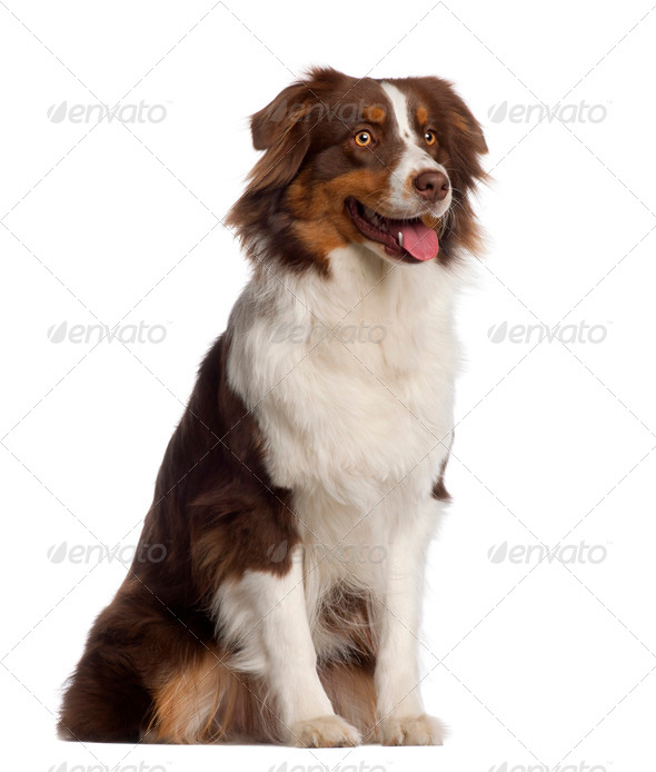 Australian Shepherd, 1 year old, sitting in front of white background - Stock Photo - Images