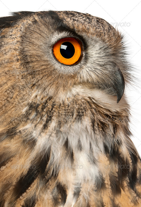 Close up of Eurasian Eagle-Owl, Bubo bubo, a species of eagle owl in front of white background - Stock Photo - Images