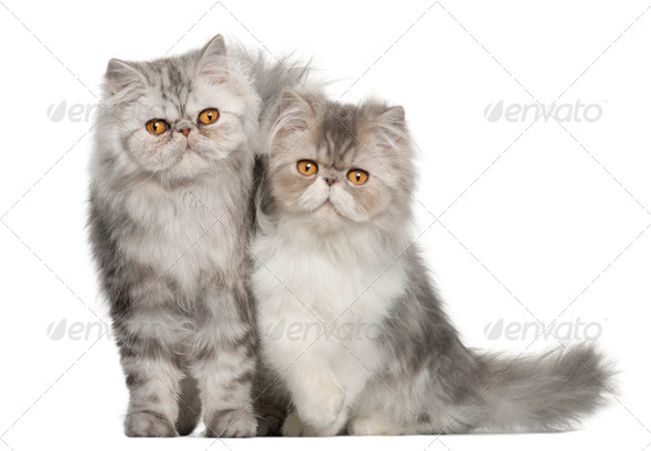 Portrait of Persian cat, 7 months old,, sitting in front of white background - Stock Photo - Images