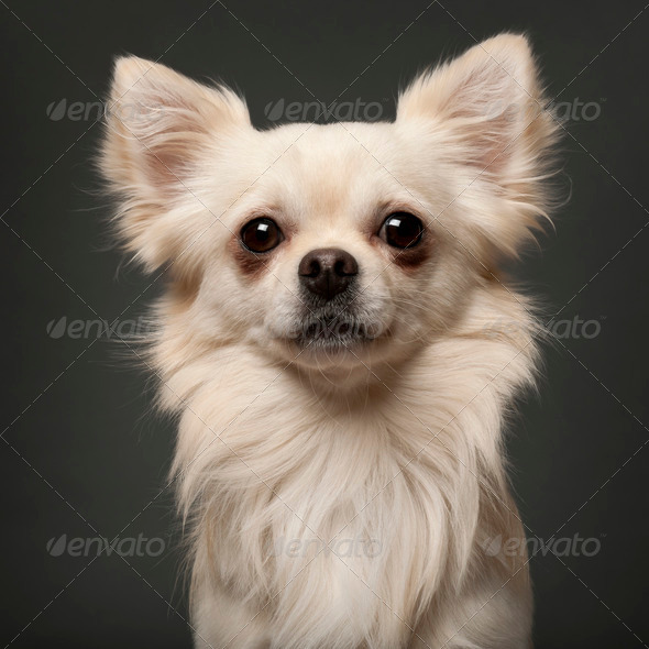 Chihuahua, 18 months old, in front of white background - Stock Photo - Images