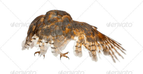 Barn Owl, Tyto alba, standing in front of white background - Stock Photo - Images