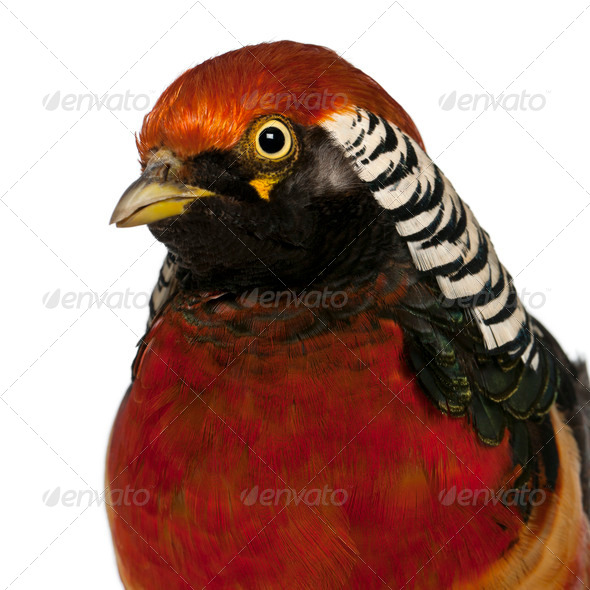 Portrait of Male Golden Pheasant or 'Chinese Pheasant', Chrysolophus pictus - Stock Photo - Images