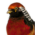 Portrait of Male Golden Pheasant or 'Chinese Pheasant', Chrysolophus pictus