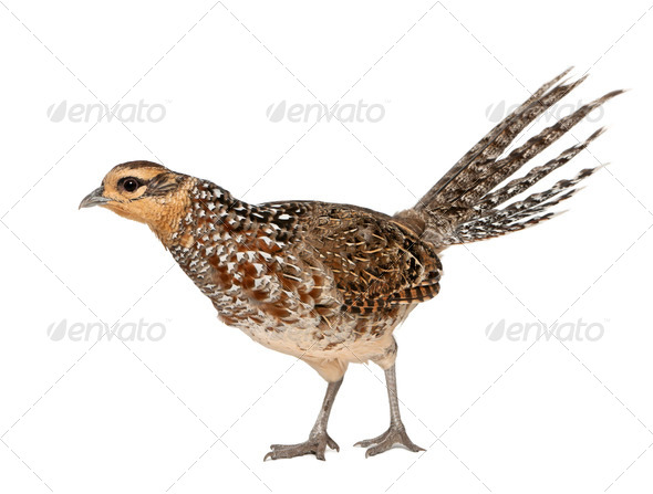 Female Reeves's Pheasant, Syrmaticus reevesii, can grow up to 210 cm long - Stock Photo - Images