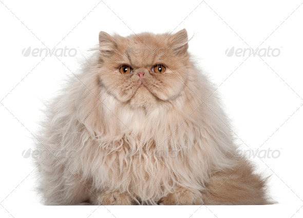 Portrait of Persian cat, 5 months old, sitting in front of white background - Stock Photo - Images
