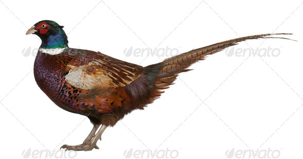 Male European Common Pheasant, Phasianus colchicus, a bird in the pheasant - Stock Photo - Images