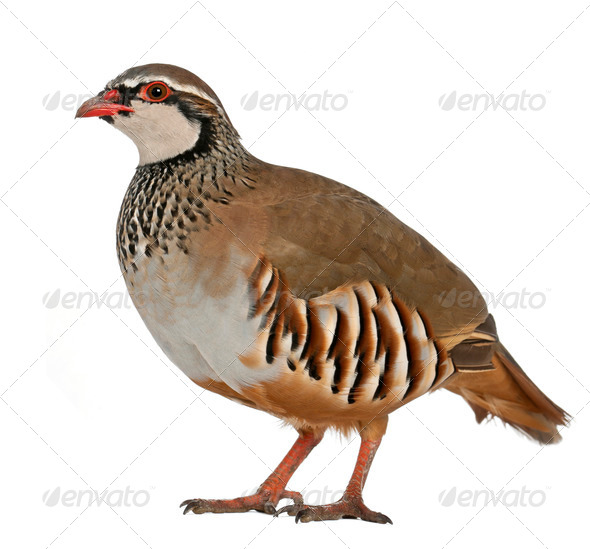 Portrait of Red-legged Partridge or French Partridge, Alectoris rufa - Stock Photo - Images