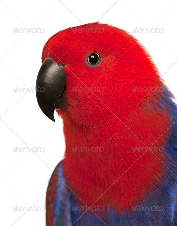 Close up of Female Eclectus Parrot, Eclectus roratus, in front of white background - Stock Photo - Images