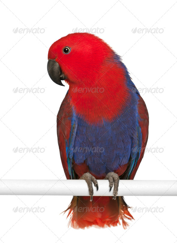 Female Eclectus Parrot, Eclectus roratus, perching in front of white background - Stock Photo - Images