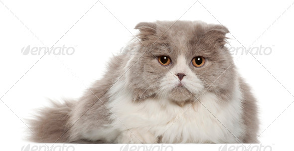 Portrait of British Shorthair cat, 6 months old, in front of white background - Stock Photo - Images