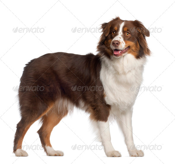 Portrait of Australian Shepherd, 1 year old, standing in front of white background - Stock Photo - Images